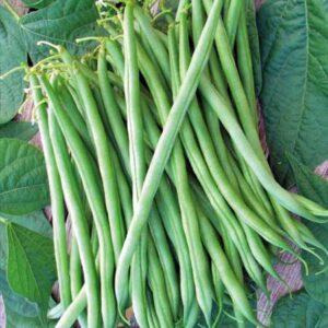 Bush Beans Seeds Online