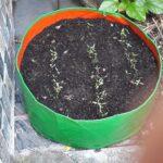 Coriander Letiza - Sakura Seeds