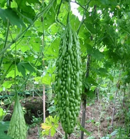 Bitter Gourd PS ARDRA ( F1 Hybrid) - Pandit Seeds