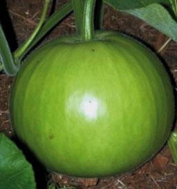 Bottle Gourd PS IQRA ( F1 Hybrid)- Pandit Seeds