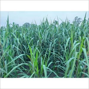 Smart Napier Grass Slips