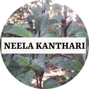 Neela Kanthari Chilli (OP) - Kerala Local