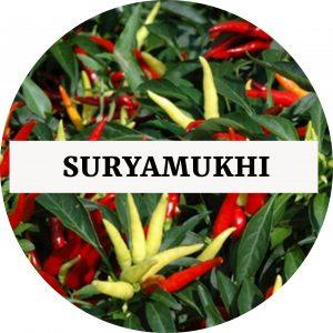 Suryamukhi Chilli (OP) - Kerala Local
