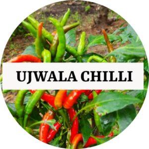 Ujwala Chilli (OP) - Kerala Local