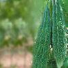 Bitter Gourd Green -Charak (OP)- Hyveg Seeds