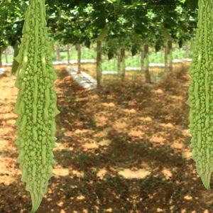 Bitter Gourd White Long (OP)- Hyveg Seeds