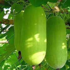 Wax Gourd Greeni - KnownYou Seeds